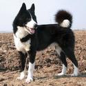 Русско-             европейская лайка, собаки, охотничьи собаки, собаки для охоты, охотничьи породы собак, охотничьи собаки норные, охотничьи собаки легавые, охотничьи собаки лайки, охотничьи собаки гончие, охотничьи собаки борзые, какую собаку выбрать для охоты, как выбрать щенка