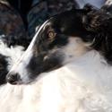 Собаки, охотничьи собаки, собаки для охоты, охотничьи породы собак, охотничьи собаки норные, охотничьи собаки легавые, охотничьи собаки лайки, охотничьи собаки гончие, охотничьи собаки борзые, какую собаку выбрать для охоты, как выбрать щенка