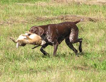 Охота с легавой на фазана отпускать птицу далеко от