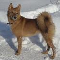 Карело-финская лайка, собаки, охотничьи собаки, собаки для охоты, охотничьи породы собак, охотничьи собаки норные, охотничьи собаки легавые, охотничьи собаки лайки, охотничьи собаки гончие, охотничьи собаки борзые, какую собаку выбрать для охоты, как выбрать щенка