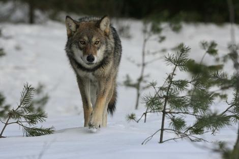 Охота со стаей гончих на волков