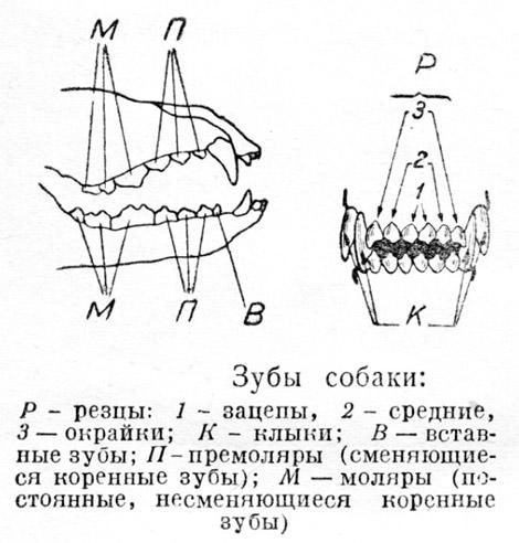Щенок рождается без зубов.