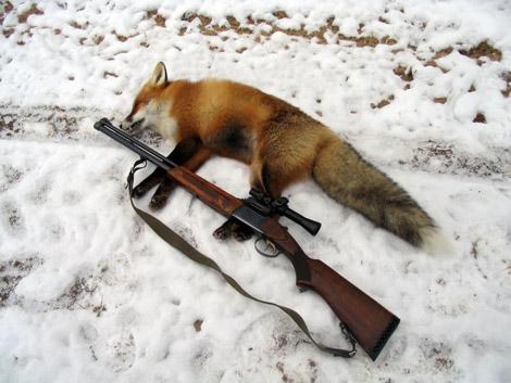 Сроки открытия охоты на лисицу 2017 в курской области них умоляла