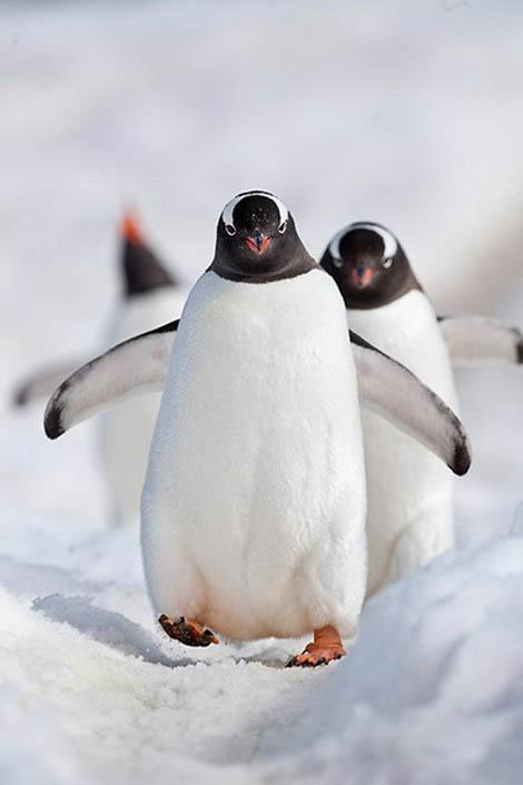 видео пингвины ловят рыбу