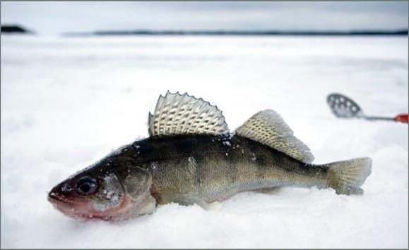 ловля судака на мормышку зимой