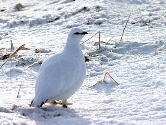 Я зимняя птица, летящая в осень - По чёткому курсу былых листопадов, По звёздным метелям, по
