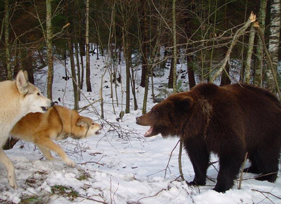 Начнем с зимы. Где искать медведя зимой. Известно - в берлоге. И