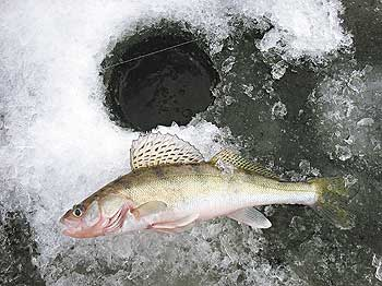 Зимняя ловля судака.