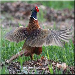 ...на фазана поохотиться на выпускную птицу в Подмосковье.