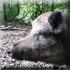 Самое крупное животное в наших краях - это кабан, иногда забредает лось.