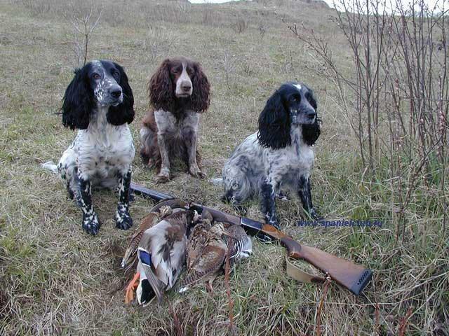 Охота, охота с собаками, охотничьи собаки, охота с подружейной собакой, охота с легавой собакой, охота с ретривером, охота с спаниелем, охота и рыбалка, охота 2014, открытие охоты, общественные охотничьи угодья, лучшая охота, охота в России,  сезон охоты