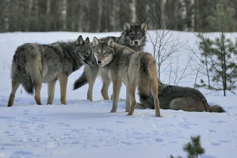 Охота на волка, волки, охота на волков в России, охота на волков в Латвии, охотничий сезон, сезон охоты, волки в Латвии, охотничье хозяйство, охота в Латвии