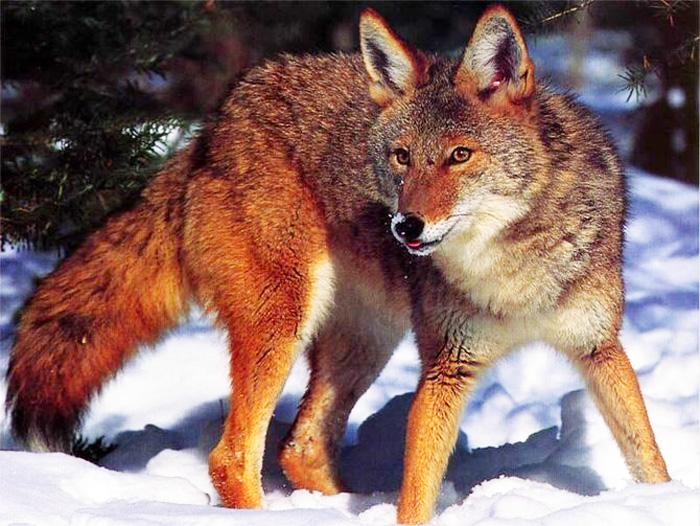 охота, охота на Урале, охота на зайца, охота на лису, Южный Урал, охота в Магнитогорске, охота 2013, охота бесплатно, бесплатная охота, лучшие охоты, охота и рыбалка,  сезон охоты, охота на гуся, охота в области