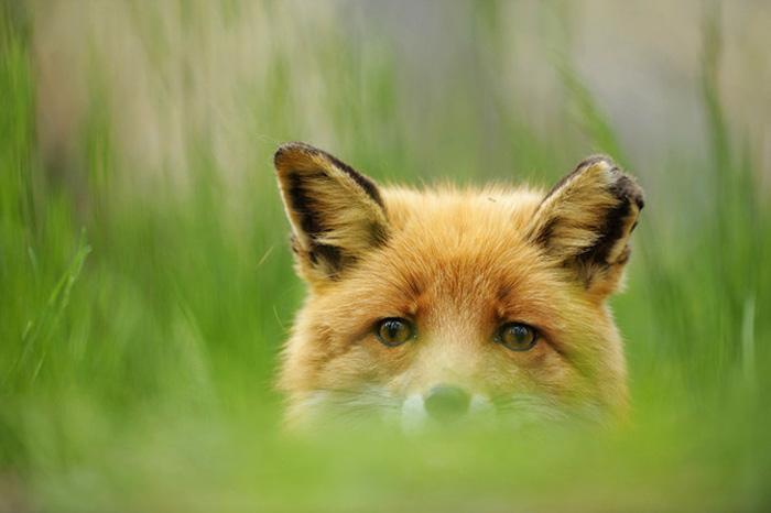 Охота в Югре, охота на волков, охота на лис, охота на лис и волков в Югре, охотники, охотничьи ресурсы, открытие охоты, разрешения на добычу охотничьих ресурсов