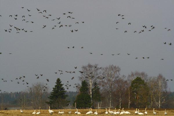 весенняя охота на Ямале, сроки весенней охоты на Ямале, охота на Ямале, охота на утку, охота на гуся, охота на тетерева, охота на глухаря