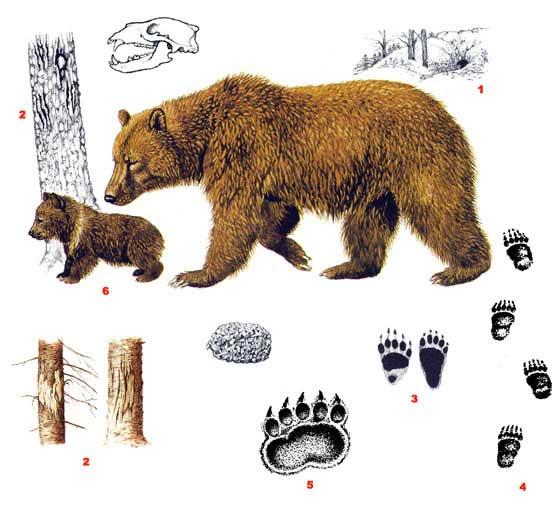 http://www.ebftour.ru/images/load/Image/medved(1).jpg