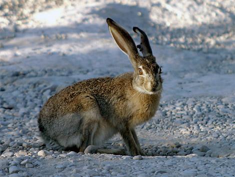охота на зайца в тверской области